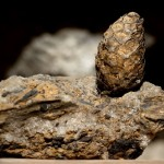 Uwęglone bądź silnie impregnowane solą szyszki, znajdowały się w tych częściach złoża solnego, do których podczas jego powstawania docierały wody rzek